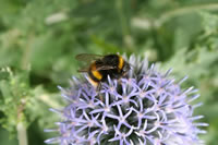 Bee on Alium flower
