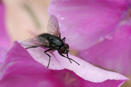 Fly on a pink flower
