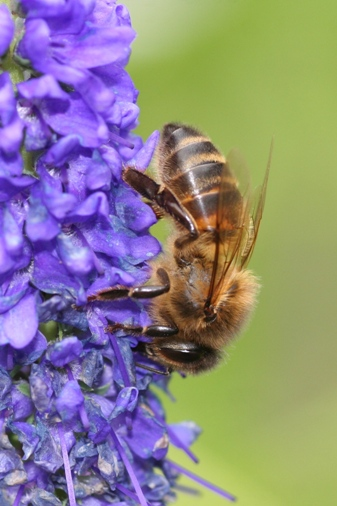 Honey bee on a blue flower