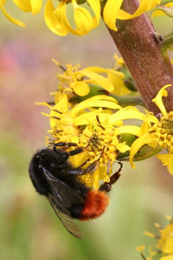Red-tailed bumblebee on a yellow flower