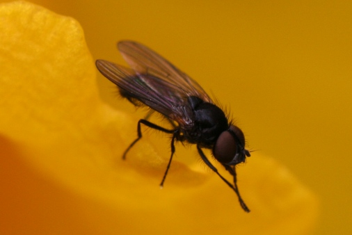 House fly on yellow flower