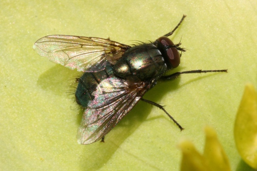 House fly on a green leaf