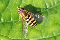 Hoverfly on a green leaf