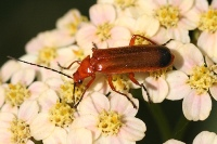Hogweed bonking beetle